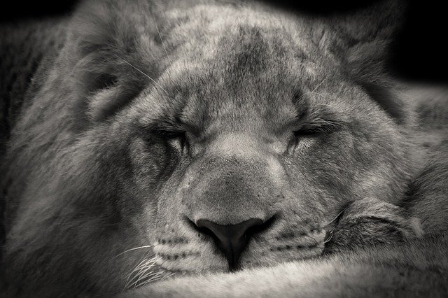 An image of a lion sleeping.